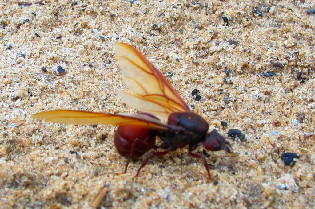 Curiosidades sobre a Formiga Tanajura (içá) você realmente sabia?