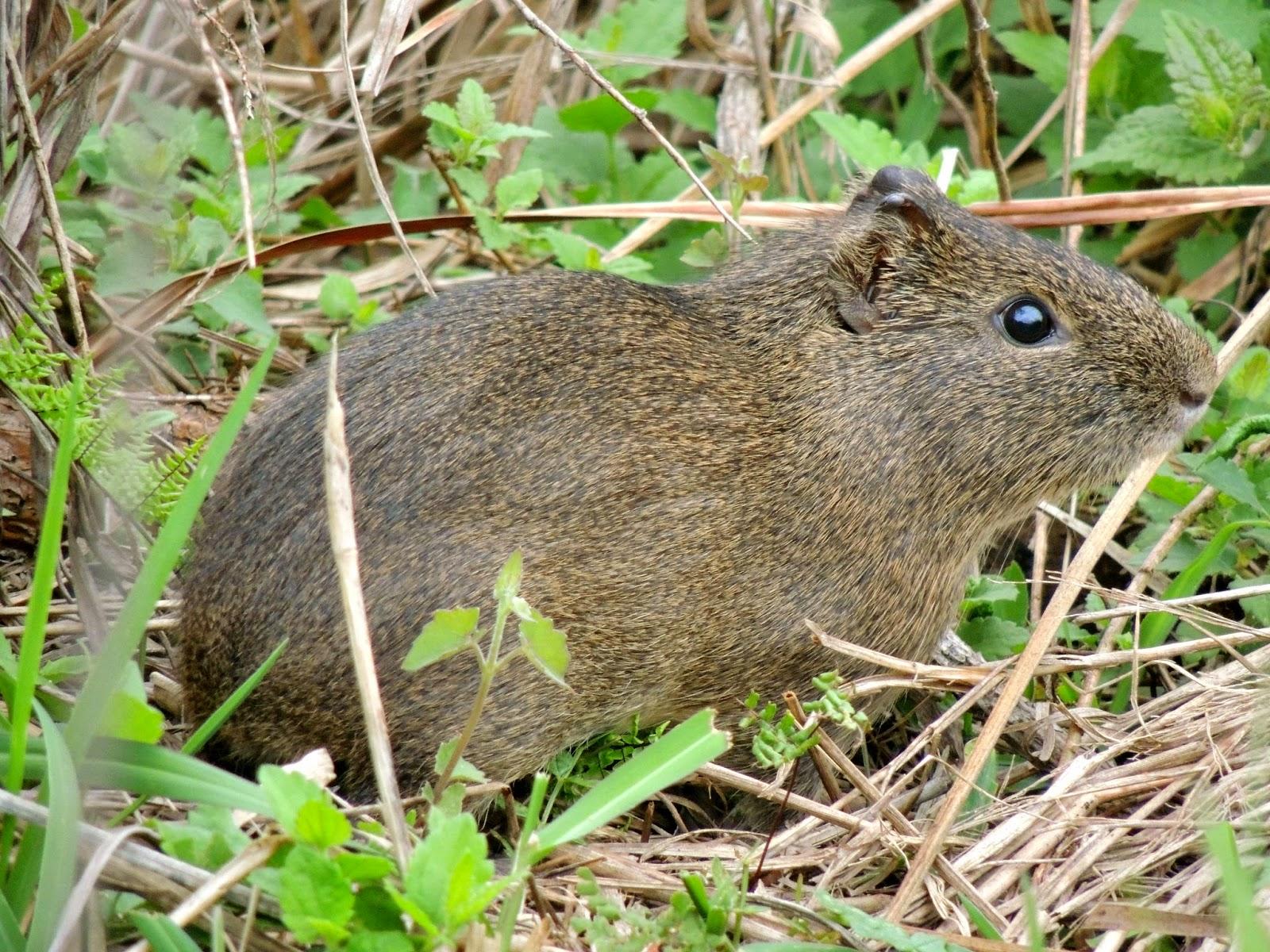 Préa (Cavia aperea), curiosidades e sua importância na manutenção da biodiversidade